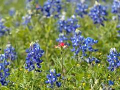 P1010217 -1R (hyphy2008) Tags: brenham texas wildflowers bluebonnets