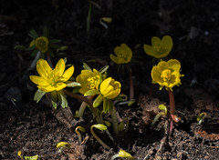 Winter ( Spring? ) Aconites (Caffe_Paradiso) Tags: ottawa flowers aconites