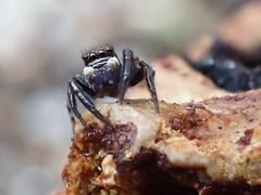 Salticidae (◄Laurent Moulin photographie►) Tags: salticidae araignees sauteuses saltiques spider oeil yeux macro gros plan macrophotographie olympus tg 4