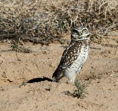 The Look -- Burrowing Owl (Athene cunicularia); Los Lunas, NM [Lou Feltz] (deserttoad) Tags: nature newmexico bird wildbird raptor owl owlet desert behavior migration