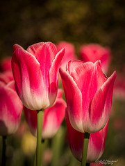 Twins (Through_Urizen) Tags: category eskisehir flora places turkey yunusemrecampus sigma105mmmacro macrodreams macrophotography outdoor nature natural tulip flowers plant garden pink colourful pair couple twins narrowdepthoffield dof closeup