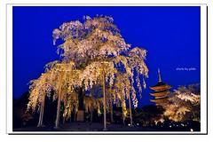 _DSC1394-1 (ychlin2005) Tags: 日本 日本國 夜櫻 東寺 櫻花