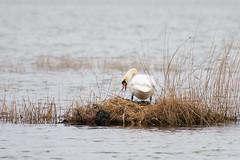 Building nest (JarkkoS) Tags: 70200mmf28efledvr animal bird espoo finland nest suvisaaristo suvisaaristod500 swan tc17eii uusimaa
