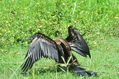 NON HA PROBLEMI ALLA CERVICALE (120672) Tags: bird birdwatcher krugernationalpark africandarter anhinga