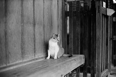 Leica_m_BW_63270_Cat_Pan400 (OPTIK AXIS) Tags: blackandwhite ilfordpan400 leicacamera leica mp 白黑 黑白 garylevel cat 貓 猫 ねこ ライカ rf mp85 カメラ camera 135 写真 底片 膠卷 taiwan 台灣 ライカmレンズ 単焦点レンズ フィルム 銀塩 film analoguephotography monochromatic blackandwhitefilm ノクティルックスm モノクロ