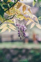 紫藤 (aelx911) Tags: a7rii a7r2 sony fe85 fe85f18 landscape flower nature taiwan taipei bokeh 台灣 台北 三芝 三生步道 紫藤