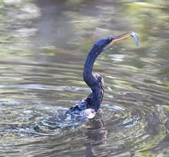 Anhinga caught itself a snack (Vladimir & Elena) Tags: nature wildlife animals birds anhinga travel florida jndingdarlingnwr