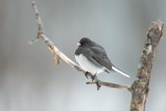 Junco-41181.jpg (Mully410 * Images) Tags: bird birdwatching birding darkeyedjunco birder birds backyard junco