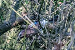 A Jay (Scientific name: Garrulus glandarius) at Pulborough Brooks (dandridgebrian) Tags: wildlife rspb pulboroughbrooks birds jay