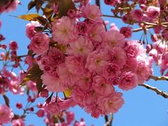 Chemnitz am Brühl, Frühling 2019. (HW062) Tags: blüte kirsche frühling
