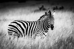 Hwange National Park, Zimbabwe (ravalli1) Tags: zebra wildlife travel zimbabwe hwange africa somalisa africanbushcamps blackandwhite photography animals