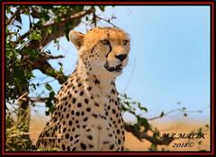 CHEETAH (Acinonyx jubatus).....MASAI MARA....SEPT, 2018. (M Z Malik) Tags: nikon d800e 400mmf28gedvr kenya africa safari wildlife masaimara keekoroklodge exoticafricanwildlife exoticafricancats flickrbigcats cheetah acinonyxjubatus