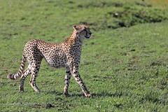 4J7A4139_Guépard (Puce55-Elisabeth,) Tags: guépard animal faune afrique kenya masaï wildlife nature