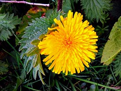 Beauty of wildflowers.. (ste dee) Tags: dandelion wildflower yellowflower nature plant weed outdoors cellphone phonepic huawei