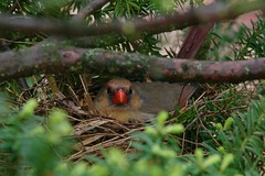 red nest (philliefan99) Tags: wyomingohio hamiltoncounty backyard birds birding nest northerncardinal cardinaliscardinalis nature