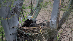 Newcomerstown Eagles (markfesh) Tags: adult eagle newcomerstown ohio nest eaglet