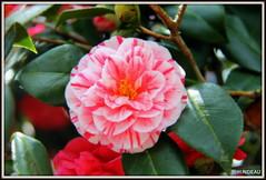 Camélia ! (Les photos de LN) Tags: camélia fleur printemps couleurs rose rouge bicolore nature pétales macro arbuste floraison