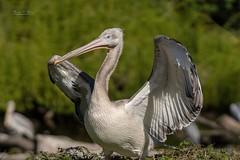 Pelican enjoys the sun (THW-Berlin) Tags: pelican birds vögel animals aves tiere nature sony
