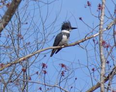 blogDSCN2047 (CarverS2) Tags: shelleylake belted kingfisher bird
