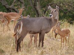 Ellipsen Waterbuck Kobus e. ellipsiprymnus (nik.borrow) Tags: mammal waterbuck antelope bovine tarangire