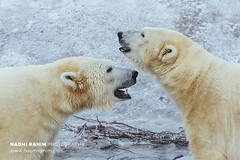 Polar Bears - Ranua, Finland (Naomi Rahim (thanks for 4.7 million visits)) Tags: finland ranua zoo arctic rovaneimi arcticzoo 2018 autumn winter travel travelphotography nikon nikond7200 cold animal wanderlust wildlife bear polarbear white lapland snow ice two motherson mother son male female portrait