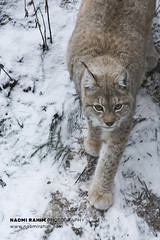 Lynx - Ranua, Finland (Naomi Rahim (thanks for 4.7 million visits)) Tags: finland ranua zoo arctic rovaneimi arcticzoo 2018 autumn winter travel travelphotography nikon nikond7200 cold animal wanderlust wildlife lapland snow lynx cat