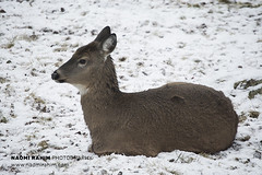 Roe Deer - Ranua, Finland (Naomi Rahim (thanks for 4.7 million visits)) Tags: finland ranua zoo arctic rovaneimi arcticzoo 2018 autumn winter travel travelphotography nikon nikond7200 cold animal wanderlust wildlife lapland roedeer deer snow