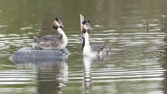 Grèbe huppé (Luc Bisensang Photographies) Tags: leteich oiseaux animaux grèbe huppé parade sauvage lucbisensang