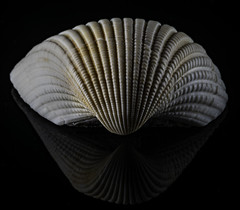 Reflecting On A Scallop Shell In The Light (Bill Gracey 23 Million Views) Tags: shell seashell scallop prescott offcameraflash lastoliteezbox softbox yongnuo yongnuorf603n filllight nature naturalbeauty macrolens reflection reflecting lucite