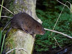 (macg33zr) Tags: organisation rspb fowlmere animal mammal watervole