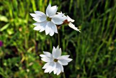 Lithophragma affine (TJ Gehling) Tags: plant flower saxifragales saxifragaceae woodlandstar sanfranciscowoodlandstar lithophragma lithophragmaaffine albanyhill albanyca