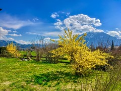Yellow flowering bushes in early spring near Oberaudorf, Bavaria, Germany (UweBKK (α 77 on )) Tags: yellow flower blossom flora bush spring green grass sky blue cloud white landscape garden oberaudorf bavaria bayern germany deutschland europe europa iphone
