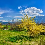 Yellow flowering bushes in early spring near Oberaudorf, Bavaria, Germany thumbnail