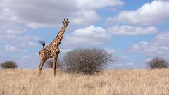 Nairobi-Nationalpark-April-9702 (ovg2012) Tags: africa afrika canon giraffatippelskirchi kenia kenya masaigiraffe massaigiraffe nairobinationalpark reisefotografie safari wildlife animal nature travelphotographer wild wildlifephoto wildlifephotography
