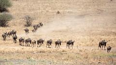 Nairobi-Nationalpark-April-0068 (ovg2012) Tags: africa afrika canon connochaetes gnu gnus kenia kenya nairobinationalpark reisefotografie safari wildebeest wildlife animal nature travelphotographer wild wildlifephoto wildlifephotography