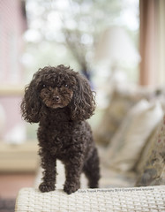 Small but mighty (dog ma) Tags: zoe chocolate poodle rescue dog ma jodytrappephotography nikon d750 50mm k9 canine cute adorable dof sunroom indoor