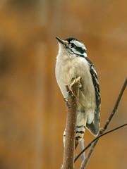 Look up Downy (mjhedge) Tags: downywoodpecker bird getolympus oly omd omdem1mkii em1mkiiomdem1markii em1ii 40150 40150mm 40150mmf28 mc14 mahomet illinois