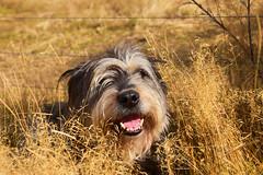 (M J Adamson) Tags: centralotago southisland nz newzealand drybread tinkers matakanui dog pets