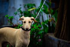 Ram (Vishnuvarthan Rajagopal) Tags: valparai pet petlove chippipara indian hound puppy ram nikon d5300 70300mm