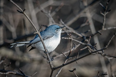GnatcatcherTree (jmishefske) Tags: wehr d850 wisconsin nikon park gnatcatcher nature bird bluegray center whitnall milwaukee 2019 franklin april