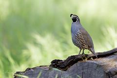 California Quail (Lisa Roeder) Tags: californiaquail quail nature wildlife birds wildbirds lososos