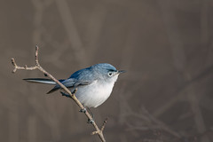 DressForSuccess (jmishefske) Tags: wehr d850 wisconsin nikon park gnatcatcher nature bird bluegray center whitnall milwaukee 2019 franklin april