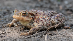 Common Toad. (PRA Images) Tags: commontoad bufobufo toads amphibians wildlife nature pilsworth