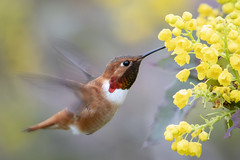 Pollen Dream (TW Olympia) Tags: rufous hummingbird