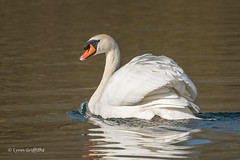 Mute Swan - I know she spurned you (3 of 3) 501_7564.jpg (Mobile Lynn) Tags: wildfowl muteswan birds swan nature anseriformes bird cygnusolor fauna wildlife estuaries freshwater lagoons lakes marshes ponds waterfowl webbedfeet hurst england unitedkingdom