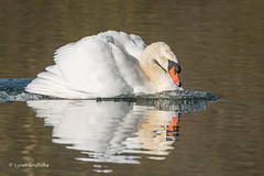 Mute Swan - trying to attract a female (1 of 3) 501_7552.jpg (Mobile Lynn) Tags: reflection wildfowl muteswan birds swan nature anseriformes bird cygnusolor fauna wildlife estuaries freshwater lagoons lakes marshes ponds waterfowl webbedfeet hurst england unitedkingdom coth