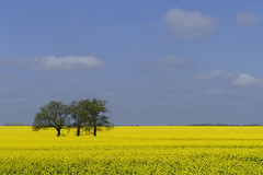 Rohlfshagen (bhermann.hamburg) Tags: ngc raps rapsfeld gelb blau yellow blue spring fruehling rape rapefield