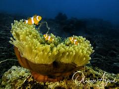 BALI18_IMG_6064-MDive1 (oalard) Tags: g16 fantasea retra bali indonesia submarinephotography photosousmarine plongees plongee dive diver poissonclown fish