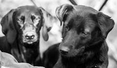 Ole & Betti (www.altglas-container.de) Tags: dogs portrait haustier hunde pet porträt dog betti ole hund