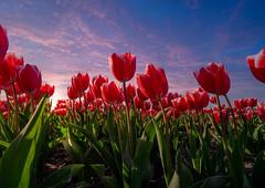 Dutch Tulips @ sunset (RigieNL) Tags: sony sonya6000 sundown sunset sun sky sunrise sunrays cloud cldous insta instagram nature natuur flevoland noordoostpolder nederland netherlands europe europa tulpen tulps tulips tulp tulipfiled pink red purlple cloudporn dream dreamscape holland